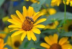 黄金菊一朵桃红色花的宏观照片  蜂在一朵美丽,黄色花 免版税图库摄影