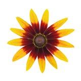 黄金菊在白色隔绝的头状花序 顶视图 库存图片