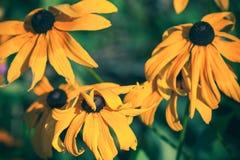 黄金菊或黑眼睛的苏珊花 库存图片