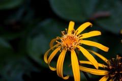 黄金菊秋天的黑眼睛的苏珊 图库摄影
