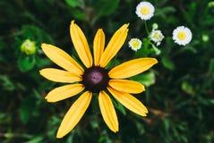 黄金菊赫塔岛,亦称黑眼睛或者棕色目的苏珊, b 免版税库存图片