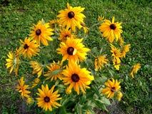 黄金菊coneflower在与草的绿色背景开花在夏日 免版税库存图片