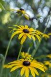 黄金菊hirta与黑棕色中心的黄色花在绽放,黑眼睛的苏珊在庭院里 免版税图库摄影