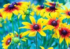 黄金菊hirta花,黑眼睛的苏珊开花在庭院里在晴朗的夏日,定调子设计 库存图片