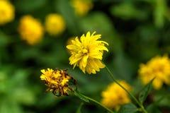黄金菊laciniata 耕种的花 免版税库存照片