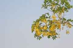 黄金雨树和天空 免版税库存照片