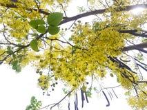黄金雨树& x28; 桂皮fistula& x29; 库存照片