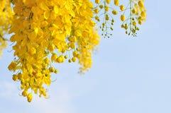 黄金雨树 库存照片