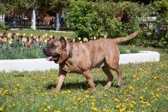 黄雀色大型猛犬在一个绿色草甸跑 Canarian molosser或dogo canario 图库摄影
