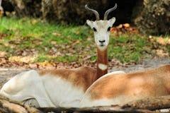 黄鹿瞪羚 库存图片