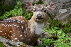 黄鹿鹿 库存图片