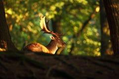黄鹿黄鹿 照片在捷克被拍了 自由本质 免版税库存图片