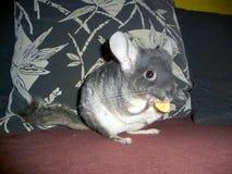 黄鼠和苹果 免版税库存照片