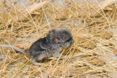 黄鼠新出生的小狗 免版税图库摄影