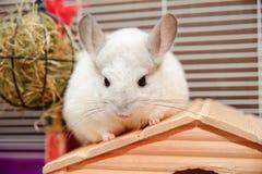 黄鼠白色 库存图片