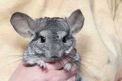 黄鼠 免版税库存图片