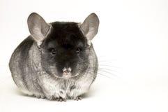 黄鼠 免版税库存照片