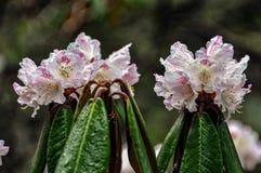 黄龙杜鹃抵抗霜和雪,开花的明亮的花 库存图片