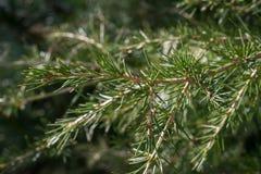 黎巴嫩雪松的枝杈树雪松libani,亚种stenocoma,在庭院里 图库摄影