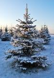 黎明冷杉结霜的结构树 图库摄影