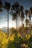 黎明杉木高大的树木 免版税库存照片