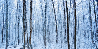 黎明森林冬天 免版税库存照片