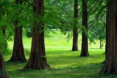 黎明红木树 库存图片