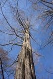 黎明红木水杉glyptostroboides在阿诺德树木园的晚冬牙买加平原的, MA 免版税库存照片