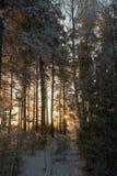 黎明美好的光的冬天森林  库存图片