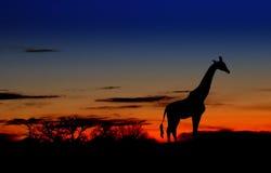 黎明长颈鹿 免版税库存照片
