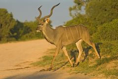 黎明kudu 免版税库存照片