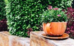 黏土花瓦器的12月美丽的桃红色康乃馨花植物 图库摄影