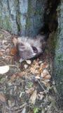 黏附头的小浣熊在洞穴外面 图库摄影