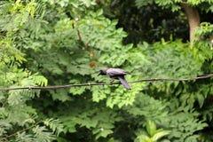 黑乌鸦张开额嘴,并且在导线的栖息处与绿色离开背景 免版税库存照片