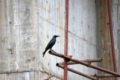 黑乌鸦张开额嘴,并且在脚手架铁的栖息处与水泥墙壁是建设中背景 免版税库存照片