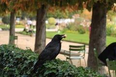 黑乌鸦用在它的额嘴的一个小圆面包 库存照片
