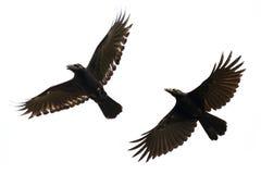 黑乌鸦飞行的图象在白色背景的 敌意 库存照片