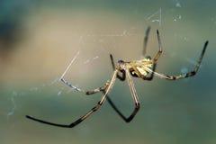 黑人男性蜘蛛寡妇 免版税库存照片