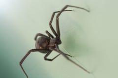 黑人蜘蛛寡妇 库存照片