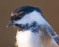 黑加盖的山雀-被采取在鹰里奇鸟观测所 库存照片