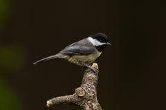 黑加盖的山雀(Poecile atricapillus)。 免版税图库摄影