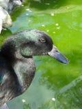 黑卡尤加人鸭子画象,绿色水背景 垂直 免版税图库摄影