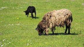 黑发咩声灯和母亲绵羊吃草充满幸福 免版税库存图片