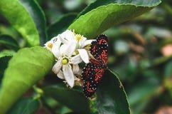 黑和橙色蝴蝶在从柠檬的一束白花登陆了 图库摄影