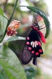 黑和红色蝴蝶和蛹 免版税库存照片