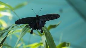 黑和红色蝴蝶Atrophaneura semperi 免版税库存图片