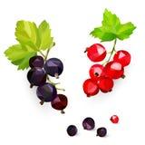 黑和红色smrodina莓果在一个分支的仿照低落多在白色背景,被隔绝的对象样式 库存例证