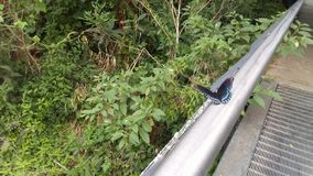 黑和蓝色蝴蝶2 库存图片
