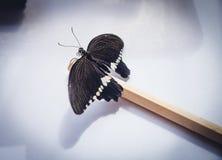 黑和蓝色papilio lowi zephyria异乎寻常的蝴蝶 免版税库存照片