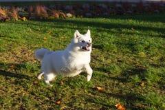 黑哈巴狗和白朋友在11月晚上尾随获得乐趣 免版税库存图片